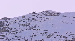 Skyline of a chamois walking on snow-covered slope in the weak light of dawn. - stock footage