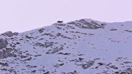 Stock Video Footage of Skyline of a chamois walking on snow-covered slope in the weak light of dawn.
