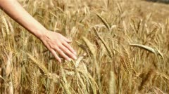 Hand and wheat (HD 1080) - stock footage