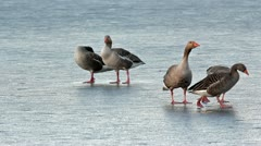 Greylag geese walk and talk on frozen pond. All times are good for gossip. Stock Footage