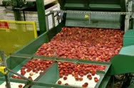 Freshly picked Peaches being processed in packing plant Stock Footage