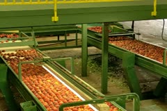 Freshly picked Peaches moving down dual conveyors lines in packing plant Stock Footage