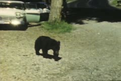 Vintage Bear with Tourists. Stock Footage