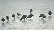 Eurasian Coot  (Fulica atra) walking over the icy pond. Stock Footage