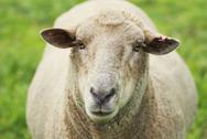 Stock Photo of sheep looking at the camera in a grassy field