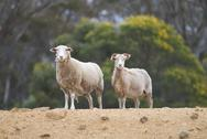 Stock Photo of sheep on a rise staring at the camera