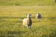 Sheep in a field looking at the camera Stock Photos