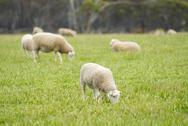 Stock Photo of lamb grazing in a grassy field