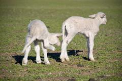 Two young lambs Stock Photos
