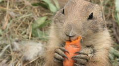 Rodent chews carrot - stock footage