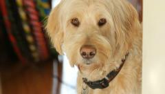 Sunny labradoodle. Stock Footage