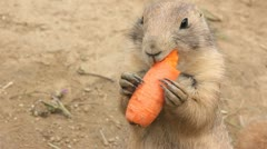 Prairie dog chews carrot - stock footage