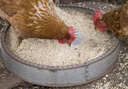 Stock Photo of chickens eating grain