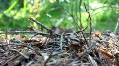 Red wood ants Stock Footage