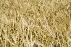 barly crop ready for harvest - stock photo
