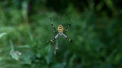 Big Wasp spider shows striking yellow and black markings on its abdomen Stock Footage