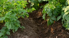 Earthing up potato - stock footage