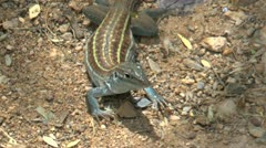 Whiptail Lizard Stripes Stock Footage