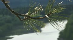 The branch of the cedar Stock Footage