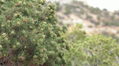 Pinion Pine trees above natural desert canyon P HD 1746 - stock footage