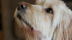 Hopeful dog. Stock Footage