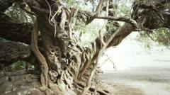 Gigant olive tree Stock Footage