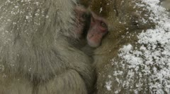 Two snow monkeys cuddling in the cold, Jigokudani, Nagano, Japan. - stock footage