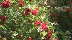 Wind, red berries and green foliage Stock Footage