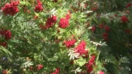 Stock Video Footage of Wind, red berries and green foliage