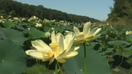 Yellow Pond Lilies 2 Stock Footage