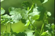 Stock Video Footage of Cilantro
