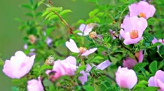 Dog rose Stock Footage