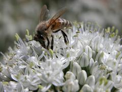 Bee getting pollen and honey on garlic flower Stock Photos