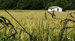 Wheatfield in the Summer 01 Stock Footage