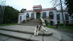 St Bernard sitting on porch of the house Stock Footage