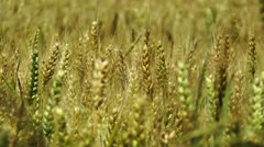 Wheatfield in the Summer 02 closeup Stock Footage