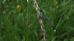 Damsel fly on a grass Stock Footage