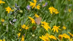 Small brown buttery and wildflowers Stock Footage