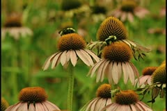 Echinacea with bees Stock Footage