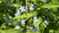 forget-me-not - stock footage
