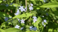 Forget-me-not Stock Footage