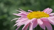 Pink daisy Stock Footage