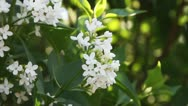 White lilac Stock Footage