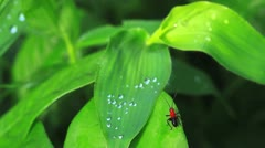 black and red insect - stock footage