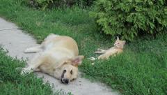Lazy Yellow Cat & Dog Stock Footage