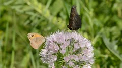 Various butterfly on garlic blossom Stock Footage