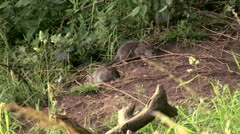 Rats eating seed on the floor - stock footage