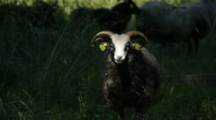 Black sheep in ray of sun light looks to camera. Stock Footage