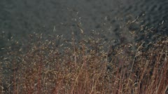 Reeds blow gently against Baltic sea background Stock Footage