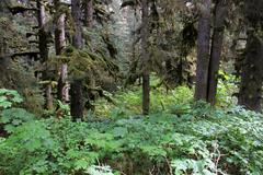 Mossy Trees Forest Alaska - stock photo